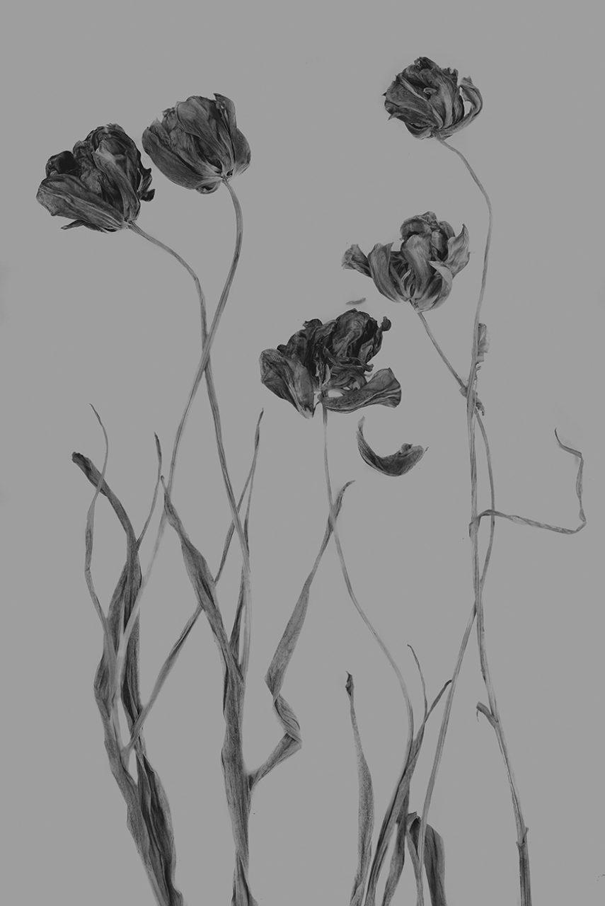 Tulpe-efex-triste1637-72